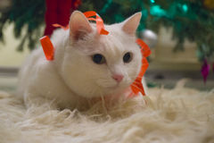 Beautiful white cat wearing Christmas thin red ribbon stock photography