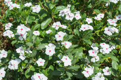 Beautiful white catharanthus roseus flowers in flowerbed Stock Images