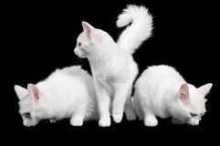 Beautiful white cats look every which way Royalty Free Stock Photo