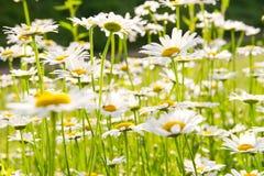 Beautiful white chamomile Stock Photo