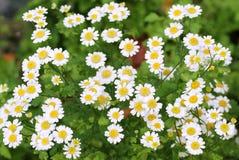 Beautiful white chamomile stock images