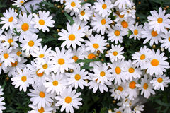 Beautiful white chamomile stock image