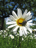 Beautiful white chamomile and little beetle Royalty Free Stock Photo