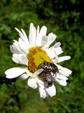 Beautiful white chamomile and little beetle Royalty Free Stock Images