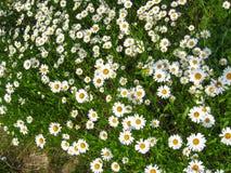 Beautiful white chamomiles Royalty Free Stock Images