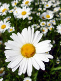 Beautiful white chamomiles in the flower bed Royalty Free Stock Photos