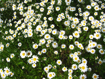 Beautiful white chamomiles in the flower bed Royalty Free Stock Photography