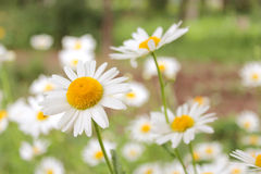 Beautiful white chamomiles in the flower bed Stock Photo