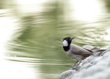 Beautiful white cheeked bulbul near a pond Stock Image