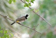 Beautiful white cheeked bulbul staring at the back Royalty Free Stock Image