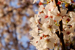 Beautiful white Cherry blossom flowers tree branch in garden with nice clear blue sky. natural spring season festival background Stock Photo