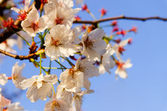 Beautiful white Cherry blossom flowers tree branch in garden with nice clear blue sky. natural spring season festival background Stock Images
