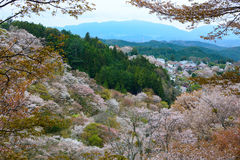 Beautiful white cherry blossom landscape on Mount Yoshino in Nara, Japan Royalty Free Stock Image