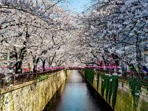 Beautiful white cherry blossom or sakura full bloom at the Meguro. Canal in Tokyo Royalty Free Stock Photo