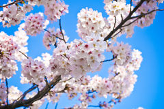 Beautiful white cherry blossom Stock Images