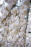 Beautiful white cherry blossom Royalty Free Stock Photography