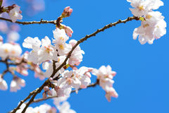 Beautiful white cherry blossoms on a tree in Japan in spring 2016 Royalty Free Stock Images
