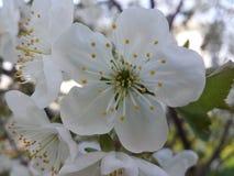 Beautiful white cherry flower Royalty Free Stock Photos