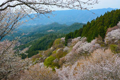 Beautiful white cherry trees flowering on Mount Yoshino in Nara, Japan Stock Photos