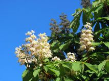 Chestnut tree blooms in spring, Lithuania Royalty Free Stock Images