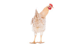 Beautiful white chicken Stock Photography