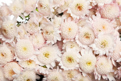 Beautiful white the chrysanthemums background. Stock Photos