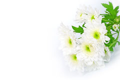Beautiful  white chrysanthemums flowers close-up Stock Photos