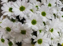 Beautiful white chrysanthemums in a vase, as a background image royalty free stock image