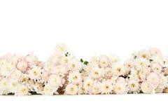 Beautiful white chrysanthemums on white background. Stock Image