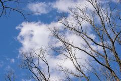 Beautiful white clouds and spring trees against the blue sky.  royalty free stock photo