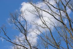 Beautiful white clouds and spring trees against the blue sky.  stock image