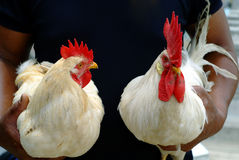 Beautiful White Cock. Two beautiful  white cock in hands Royalty Free Stock Images