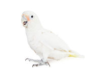 Beautiful White Cockatoo Bird - Side View Royalty Free Stock Images