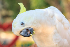 Beautiful white Cockatoo, Sulphur-crested Cockatoo Stock Photos
