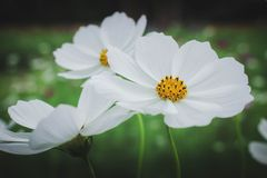 The group of beautiful white color flower royalty free stock photos