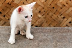 Beautiful white colored young kitten staring Stock Images
