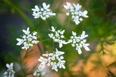 The Beautiful White Coriander Flower stock photos