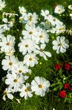 Beautiful white cosmos flower in the garden. For a background stock images
