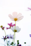 Beautiful white cosmos flowers Royalty Free Stock Images