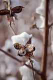 Beautiful, white cotton plant. Royalty Free Stock Images