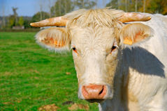 Beautiful white cow muzzle Royalty Free Stock Photography