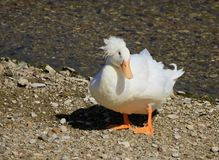 White Crested Domestic duck. Beautiful white crested domestic duck with orange feet and beak on Stock Photos