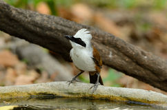 White-crested laughingthrush Royalty Free Stock Images