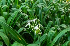 Crinum asiaticum flower in the garden. Beautiful white Crinum asiaticum cluster royalty free stock photography