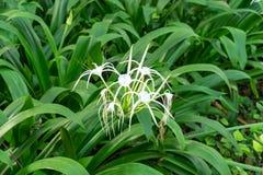Crinum asiaticum flower in the garden. Beautiful white Crinum asiaticum cluster stock photo