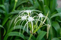 Crinum asiaticum flower in the garden. Beautiful white Crinum asiaticum cluster royalty free stock images