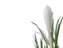 Beautiful white crocus. On a white background Stock Photos