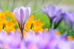 Beautiful white crocus in spring Stock Photo