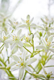 Beautiful white cut flowers in vase. Closeup of white cut flowers in vase royalty free stock photography
