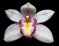 Beautiful white Cymbidium orchid flowers over black Stock Photo